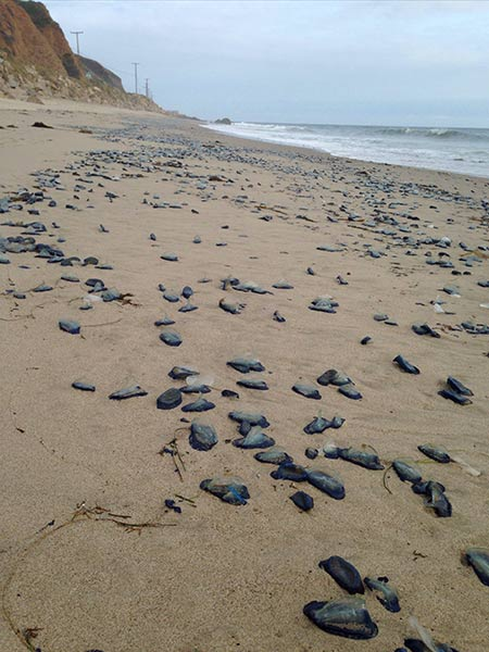 "<div class=""meta image-caption""><div class=""origin-logo origin-image kabc""><span>KABC</span></div><span class=""caption-text"">Eyewitness News viewer Alia Schrader found blue jellyfish scattered along Malibu on Wednesday, April 22, 2015. (Alia Schrader)</span></div>"