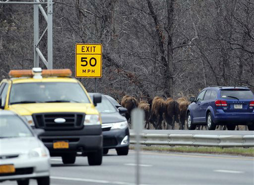 """<div class=""""meta image-caption""""><div class=""""origin-logo origin-image none""""><span>none</span></div><span class=""""caption-text"""">A herd of buffalo run along Interstate 87, Friday, April 24, 2015, in Bethlehem, N.Y. (AP Photo/ Mike Groll)</span></div>"""