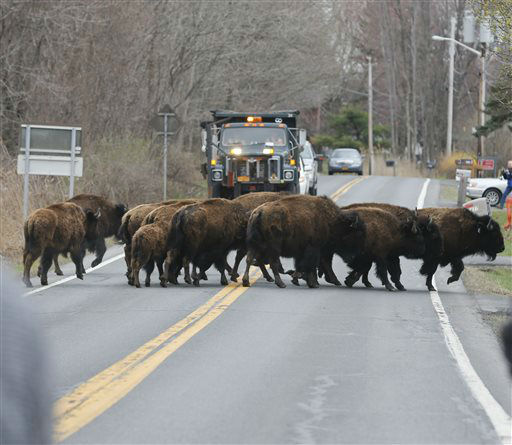 """<div class=""""meta image-caption""""><div class=""""origin-logo origin-image none""""><span>none</span></div><span class=""""caption-text"""">A herd of buffalo cross a road, Friday, April 24, 2015, in Bethlehem, N.Y. (AP Photo/ Mike Groll)</span></div>"""