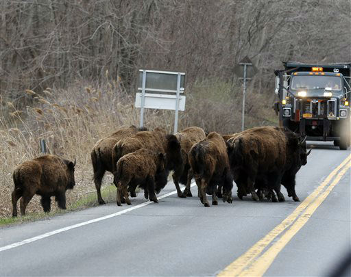 """<div class=""""meta image-caption""""><div class=""""origin-logo origin-image none""""><span>none</span></div><span class=""""caption-text"""">A herd of buffalo crosses a road, Friday, April 24, 2015, in Bethlehem, N.Y. (AP Photo/ Mike Groll)</span></div>"""