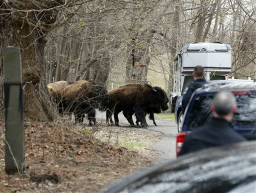"""<div class=""""meta image-caption""""><div class=""""origin-logo origin-image none""""><span>none</span></div><span class=""""caption-text"""">A herd of buffalo crosses a driveway, Friday, April 24, 2015, in Bethlehem, N.Y. (AP Photo/ Mike Groll)</span></div>"""
