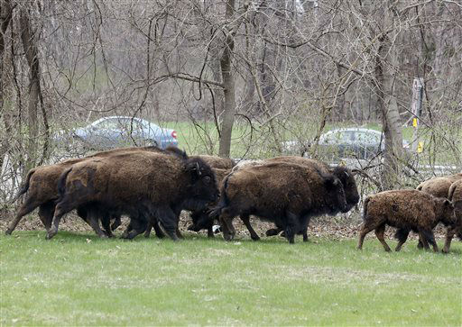 """<div class=""""meta image-caption""""><div class=""""origin-logo origin-image none""""><span>none</span></div><span class=""""caption-text"""">A herd of buffalo runs in a yard adjacent to the New York State Thruway on Friday, April 24, 2015, in Bethlehem, N.Y. (AP Photo/ Mike Groll)</span></div>"""