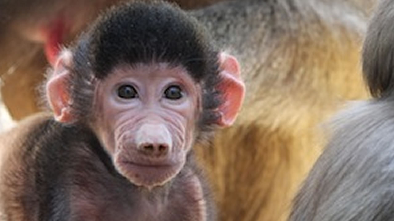 first male baboon born at Oakland Zoo