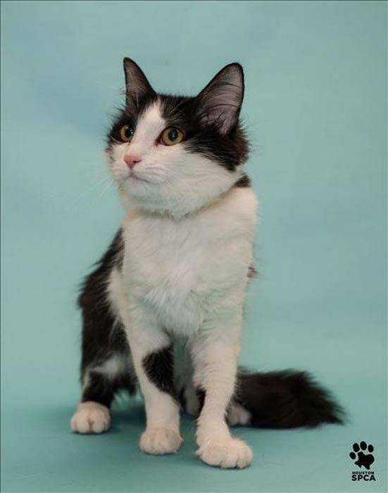 """<div class=""""meta image-caption""""><div class=""""origin-logo origin-image none""""><span>none</span></div><span class=""""caption-text"""">All kittens and cats at the Houston SPCA are just 5-dollars to approved adopters today through Sunday. (Photo/Houston SPCA)</span></div>"""