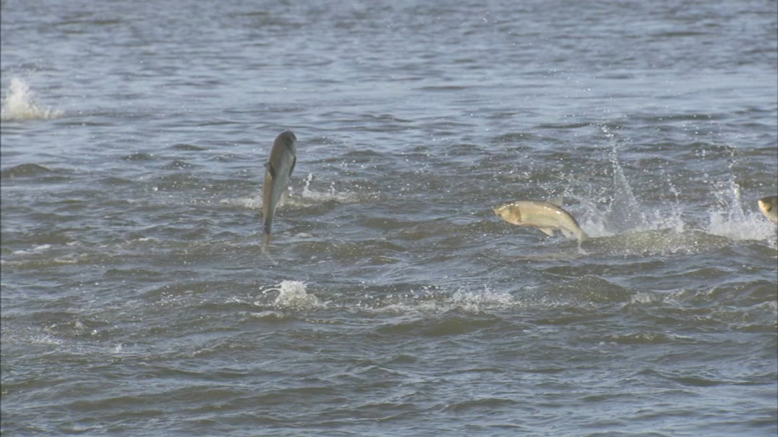Asian carp burgers, tacos available across Illinois; initiative meant to raise awareness of invasive species