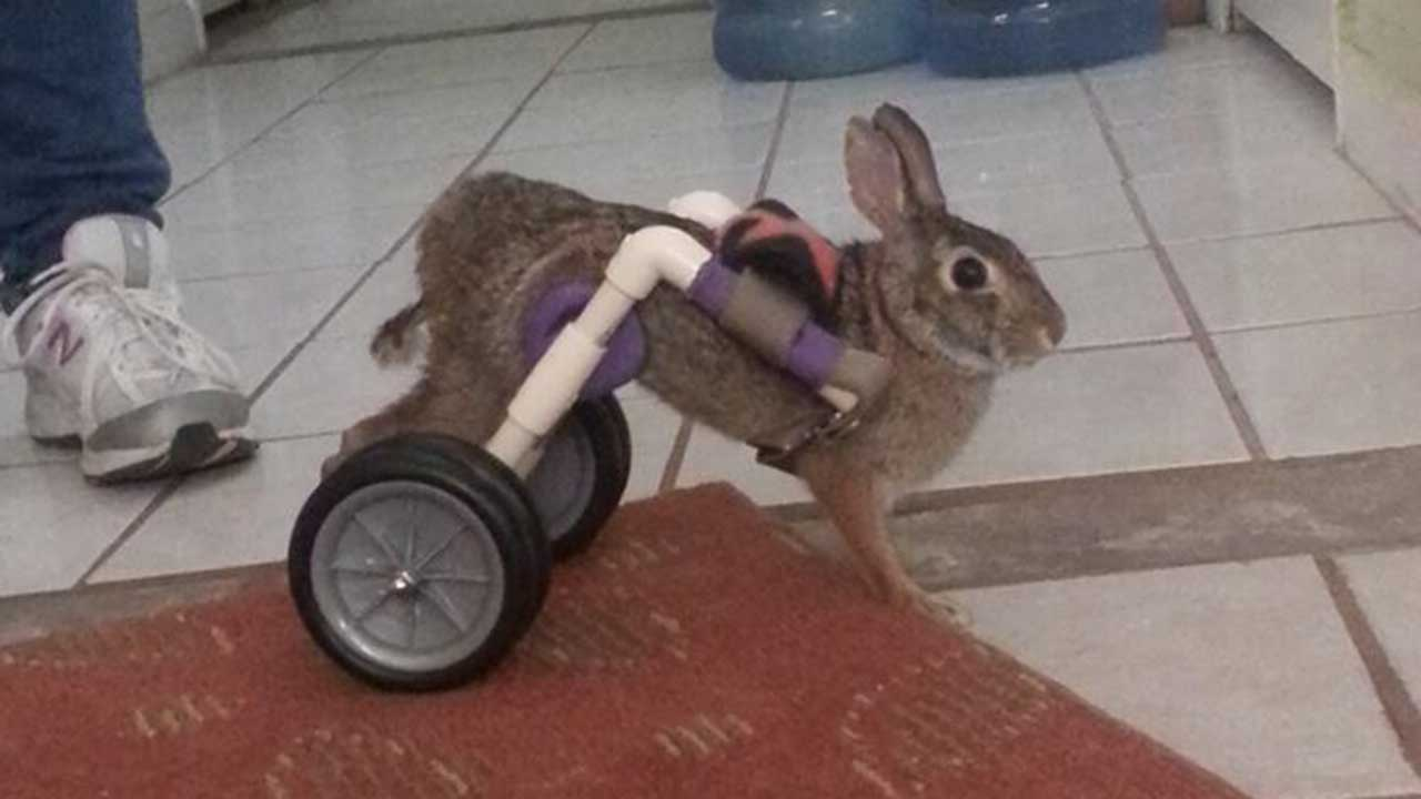 Injured bunny
