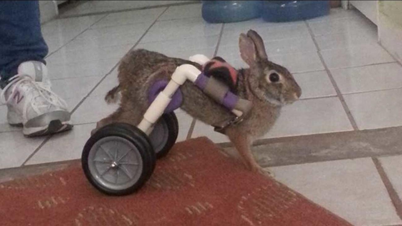 Injured bunny
