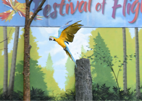 "<div class=""meta image-caption""><div class=""origin-logo origin-image none""><span>none</span></div><span class=""caption-text"">During Brookfield Zoo's summer-long Festival of Flight bird show, guests will see blue and gold macaws demonstrate their natural flying abilities. (Courtesy of Brookfield Zoo)</span></div>"