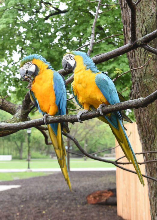 "<div class=""meta image-caption""><div class=""origin-logo origin-image none""><span>none</span></div><span class=""caption-text"">Macaws are native to South America, where they may be seen in pairs, family parties, or flocks of up to 25 individuals. (Courtesy of Brookfield Zoo)</span></div>"
