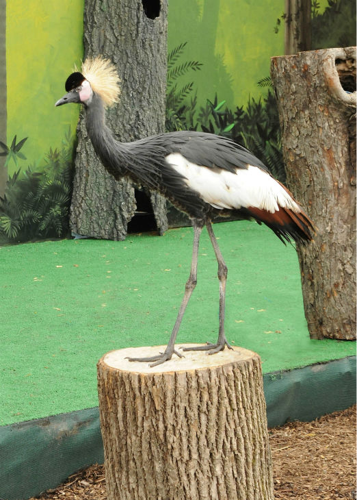 "<div class=""meta image-caption""><div class=""origin-logo origin-image none""><span>none</span></div><span class=""caption-text"">The beautiful red-legged seriema demonstrates its natural behavior of capturing prey. (Courtesy of Brookfield Zoo)</span></div>"