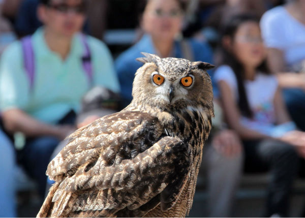 "<div class=""meta image-caption""><div class=""origin-logo origin-image none""><span>none</span></div><span class=""caption-text"">During Brookfield Zoo's Festival of Flight, guests can get an up-close view of nearly 20 bird species, including the Eurasian eagle-owl. (Courtesy of Brookfield Zoo)</span></div>"