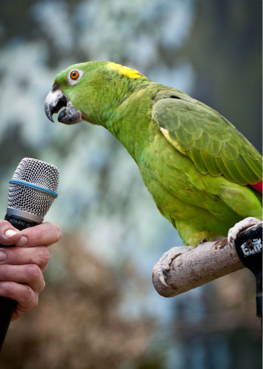 "<div class=""meta image-caption""><div class=""origin-logo origin-image none""><span>none</span></div><span class=""caption-text"">Chiquita, a yellow-naped Amazon parrot, will demonstrate her talking abilities at the Festival of Flight bird show. (Courtesy of Brookfield Zoo)</span></div>"