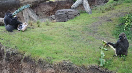 "<div class=""meta image-caption""><div class=""origin-logo origin-image none""><span>none</span></div><span class=""caption-text"">Gorillas seen at the Houston Zoo. The exhibit opens to the public on May 22, 2015. (KTRK Photo/ Amanda Cochran)</span></div>"