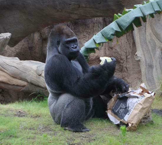 Photos Gorillas To Debut At The Houston Zoo Abc13 Com