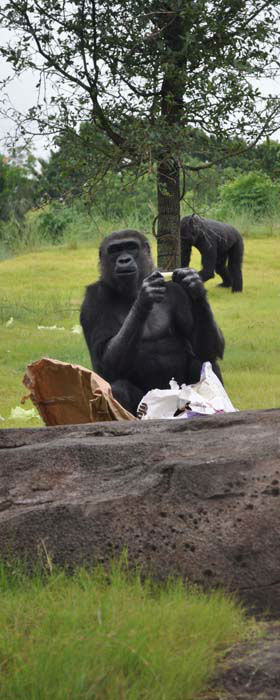 """<div class=""""meta image-caption""""><div class=""""origin-logo origin-image none""""><span>none</span></div><span class=""""caption-text"""">Gorillas seen in its new home at the Houston Zoo. The exhibit opens to the public on May 22, 2015. (KTRK Photo/ Amanda Cochran)</span></div>"""