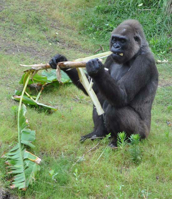 """<div class=""""meta image-caption""""><div class=""""origin-logo origin-image none""""><span>none</span></div><span class=""""caption-text"""">A gorilla seen in its new home at the Houston Zoo. The exhibit opens to the public on May 22, 2015. (KTRK Photo/ Amanda Cochran)</span></div>"""