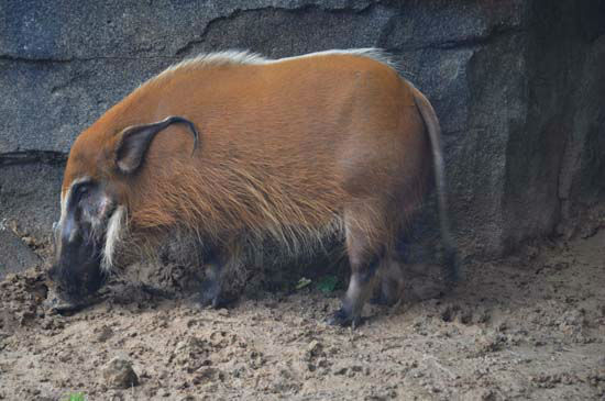 """<div class=""""meta image-caption""""><div class=""""origin-logo origin-image none""""><span>none</span></div><span class=""""caption-text"""">A red river hog seen in the gorillas exhibit at the Houston Zoo. The exhibit opens to the public on May 22, 2015. (KTRK Photo/ Amanda Cochran)</span></div>"""