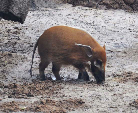"""<div class=""""meta image-caption""""><div class=""""origin-logo origin-image none""""><span>none</span></div><span class=""""caption-text"""">A red river hog seen in the gorilla exhibit at the Houston Zoo. The exhibit opens to the public on May 22, 2015. (KTRK Photo/ Amanda Cochran)</span></div>"""