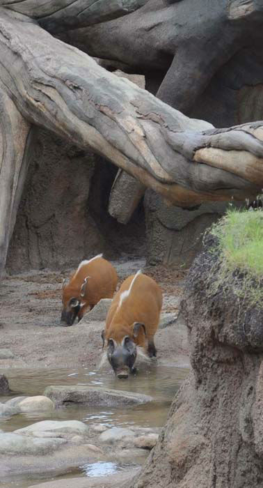 """<div class=""""meta image-caption""""><div class=""""origin-logo origin-image none""""><span>none</span></div><span class=""""caption-text"""">Red river hogs seen at the Houston Zoo. The exhibit opens to the public on May 22, 2015. (KTRK Photo/ Amanda Cochran)</span></div>"""