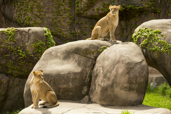 """<div class=""""meta image-caption""""><div class=""""origin-logo origin-image none""""><span>none</span></div><span class=""""caption-text"""">Lincoln Park Zoo has welcomed two new lionesses, Zalika and Kamali, to join resident male lion, Sahar, at Kovler Lion House. (Todd Rosenberg Photography/Lincoln Park Zoo)</span></div>"""