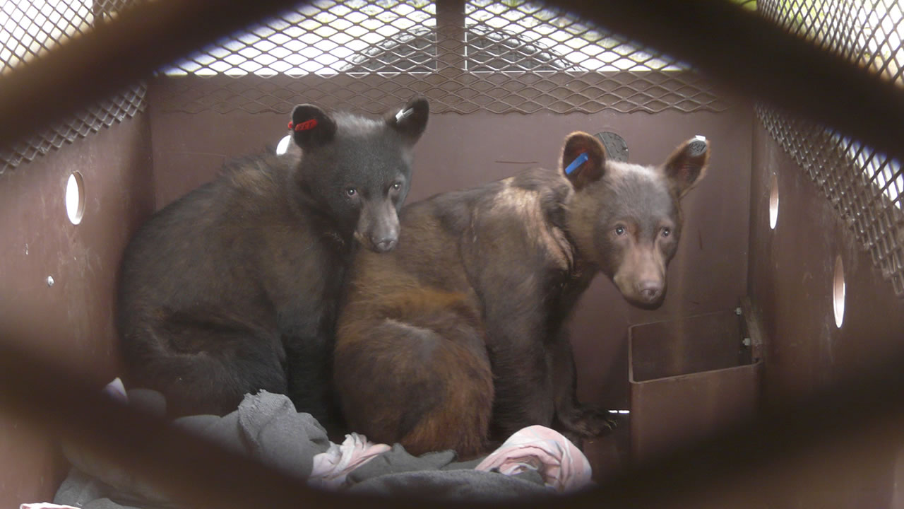 "rescued bears ""Salyer"" and ""Hoopa"""