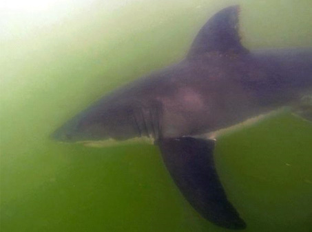"""<div class=""""meta image-caption""""><div class=""""origin-logo origin-image none""""><span>none</span></div><span class=""""caption-text"""">Great white sharks were spotted off the Orange County coast. (Orange County Sheriff's Department)</span></div>"""