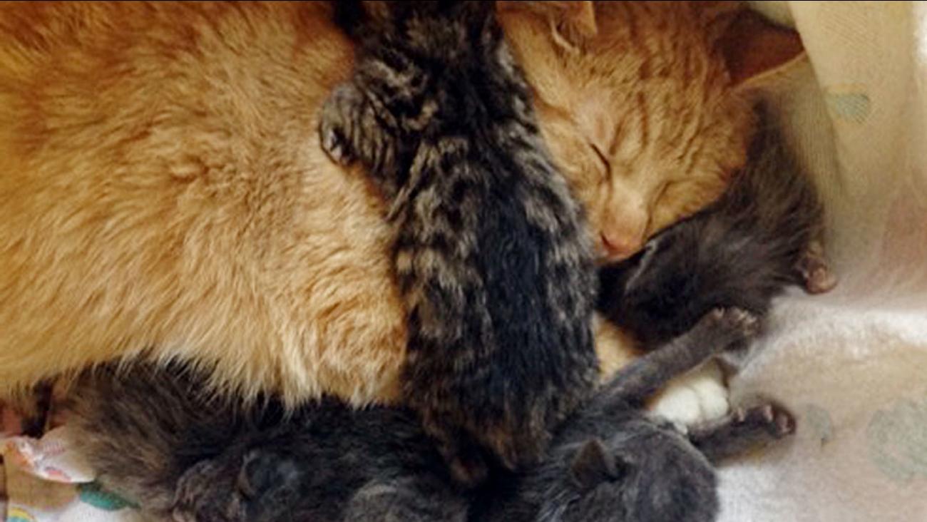 Nurturing male cat