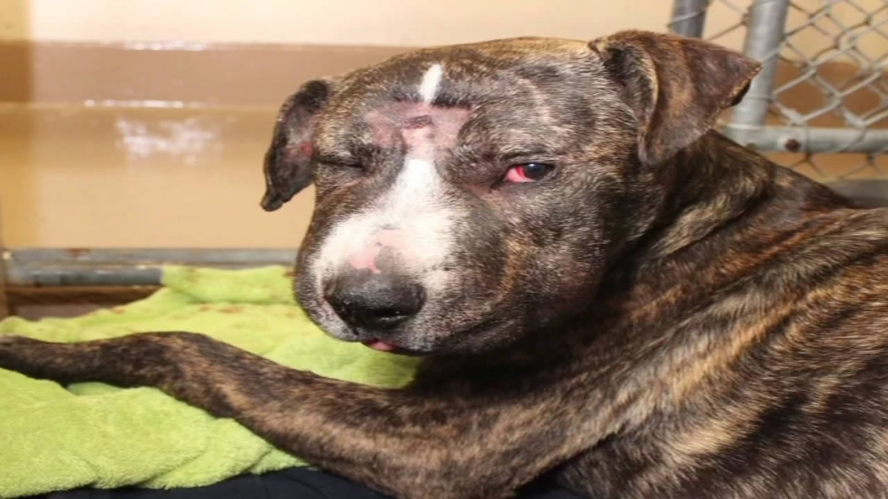 A dog that was found severely abused in San Francisco on May 14, 2015 was euthanized three days later after suffering from kidney failure.