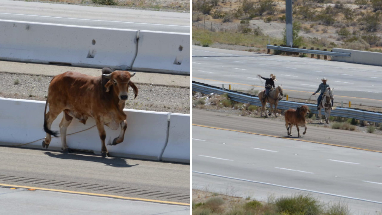 A bull wandered onto the 15 Freeway near Dale Evans Parkway and wranglers on horses worked to guide the bull off the road on Saturday, May 16, 2015.