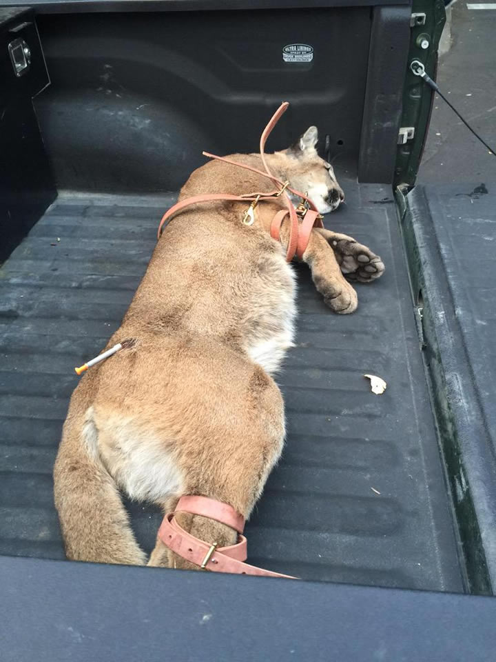 """<div class=""""meta image-caption""""><div class=""""origin-logo origin-image none""""><span>none</span></div><span class=""""caption-text"""">A mountain lion was successfully tranquilized after several sightings in San Mateo, Calif. on May 18, 2015. (Cal Fish & Wildlife/Twitter)</span></div>"""