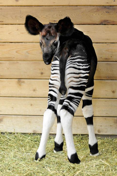 "<div class=""meta image-caption""><div class=""origin-logo origin-image none""><span>none</span></div><span class=""caption-text"">An okapi calf was born at Brookfield Zoo on April 21. The okapi, named Will, is the 27th successful okapi born at Brookfield Zoo.</span></div>"