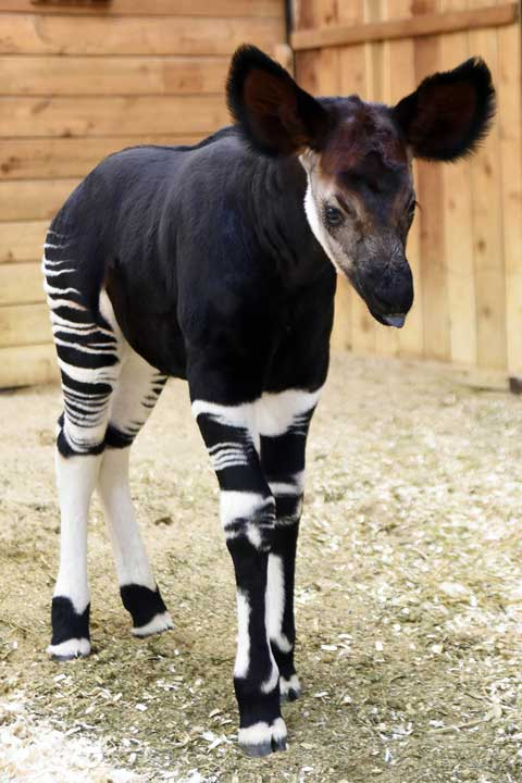 """<div class=""""meta image-caption""""><div class=""""origin-logo origin-image none""""><span>none</span></div><span class=""""caption-text"""">Scientists did not discover the species until the early 1900s. Because of okapi's elusiveness, little has been known about their behavior in the wild, including mothering. (Jim Schulz/Chicago Zoological Society)</span></div>"""
