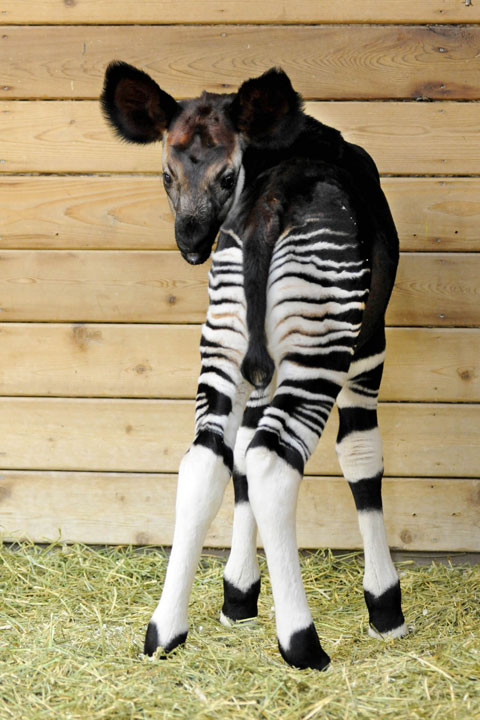 """<div class=""""meta image-caption""""><div class=""""origin-logo origin-image none""""><span>none</span></div><span class=""""caption-text"""">The rare hoofed mammal is native to the dense Ituri Forest in the Democratic Republic of Congo. Population numbers of okapi have been declining. (Jim Schulz/Chicago Zoological Society)</span></div>"""