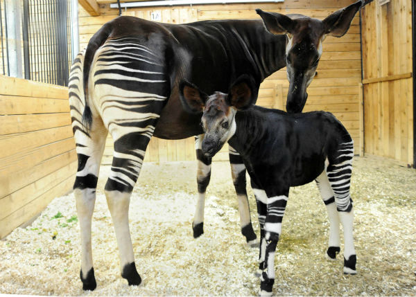 """<div class=""""meta image-caption""""><div class=""""origin-logo origin-image none""""><span>none</span></div><span class=""""caption-text"""">Will, a 1-month-old okapi calf at Brookfield Zoo, with his mom Augusta K. (Jim Schulz/Chicago Zoological Society)</span></div>"""