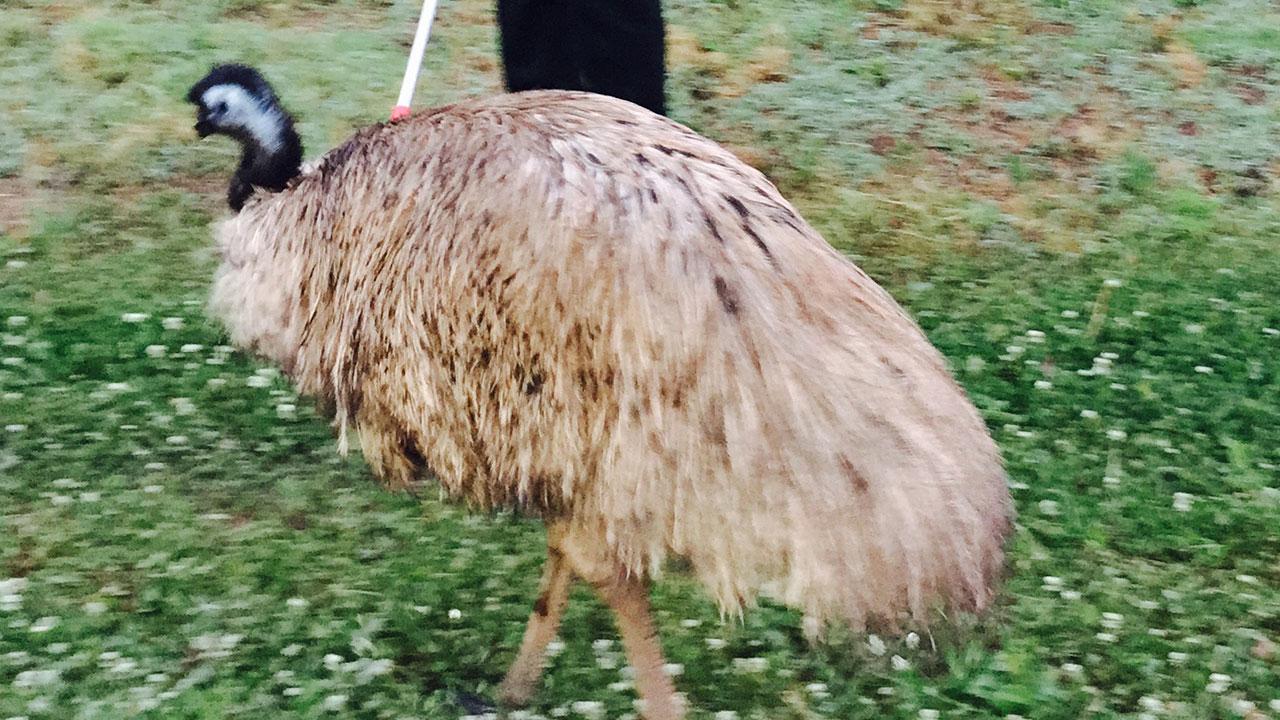 Emu on the loose