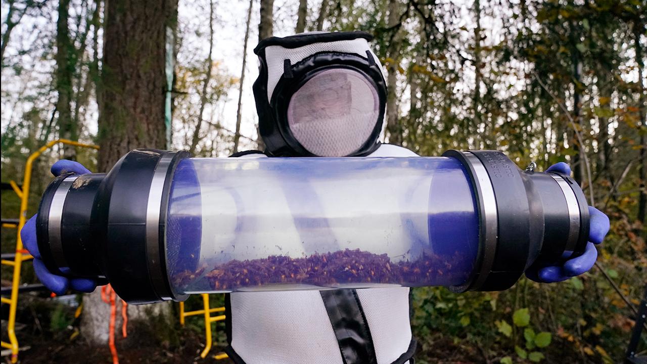 murder hornet nest found in us