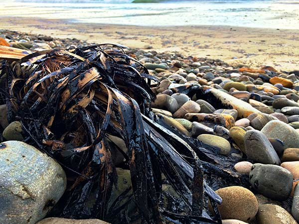 "<div class=""meta image-caption""><div class=""origin-logo origin-image kabc""><span>KABC</span></div><span class=""caption-text"">Crude oil covers a palm frond at Refugio State Beach on Wednesday, May 20, 2015. (Edgar Alcala)</span></div>"
