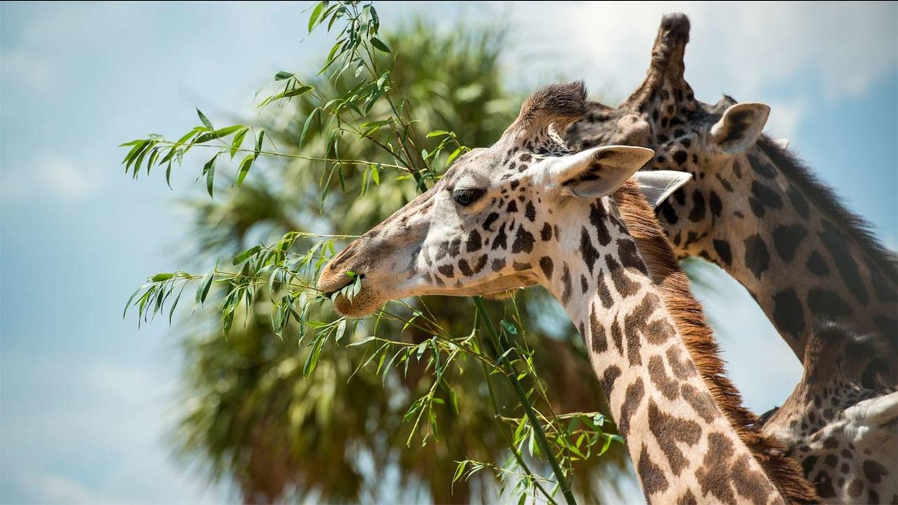Neema, a giraffe at the Houston Zoo