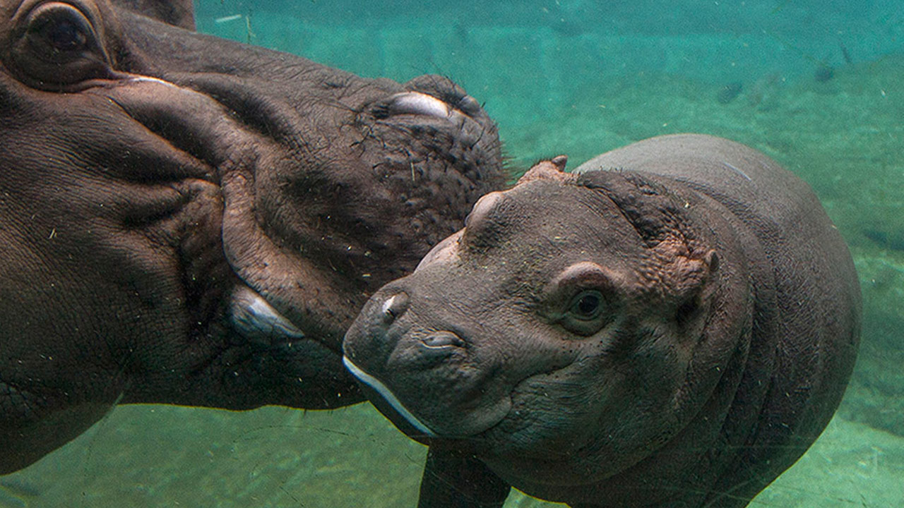 Devi, an 8-week-old hippo, is shown swimming with her mother Funani at the San Diego Zoo on Thursday, May 21, 2015.