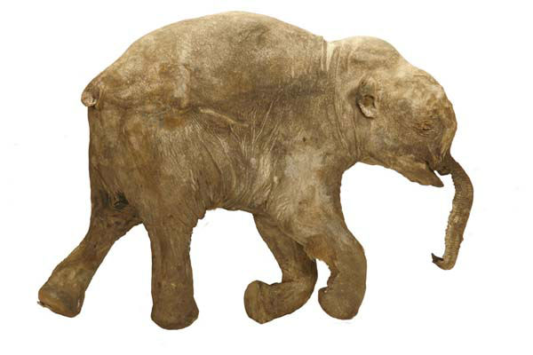 """<div class=""""meta image-caption""""><div class=""""origin-logo origin-image """"><span></span></div><span class=""""caption-text"""">Mummified mammoth Lyuba is getting a lot of attention in London, but the baby woolly mammoth got her start in Chicago. (Photo/The Field Museum)</span></div>"""