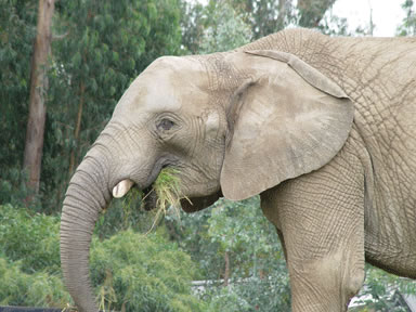 "<div class=""meta image-caption""><div class=""origin-logo origin-image ""><span></span></div><span class=""caption-text"">The Zoo is home to four African elephants named Donna, Lisa, M'Dunda, and Osh. (Oakland Zoo)</span></div>"