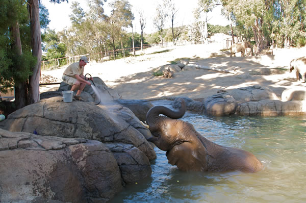"<div class=""meta image-caption""><div class=""origin-logo origin-image ""><span></span></div><span class=""caption-text"">Elephant Barn Manager, Jeff Kinzley, hosing down Lisa the elephant. Her nickname is ""water baby"" because she LOVES getting in the pool. (Oakland Zoo)</span></div>"