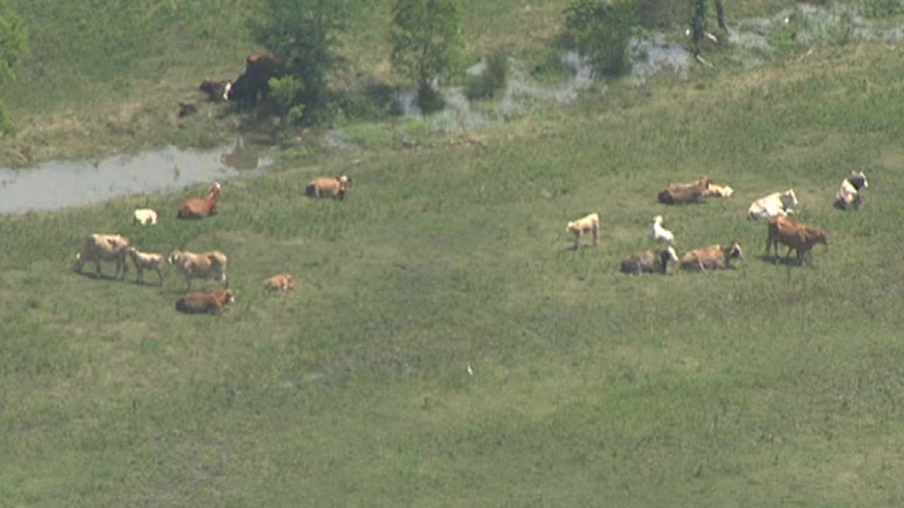Stranded cows seen in Liberty County