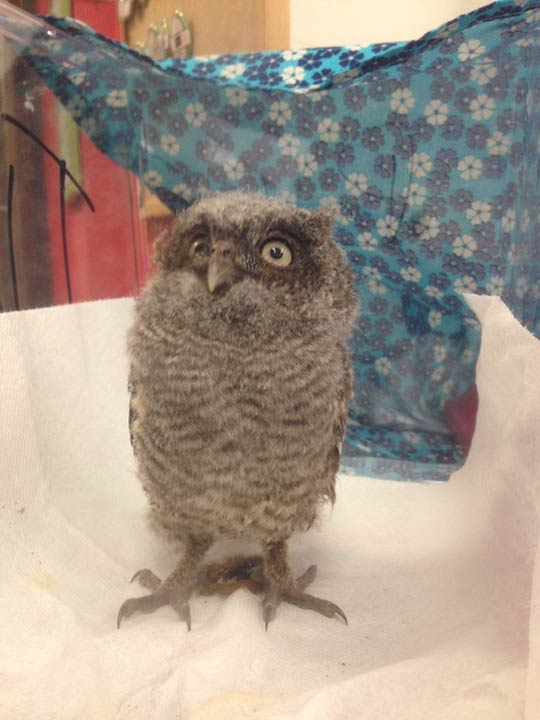 """<div class=""""meta image-caption""""><div class=""""origin-logo origin-image none""""><span>none</span></div><span class=""""caption-text"""">A wide variety of misplaced critters are now at the Texas Wildlife Rehabilitation Centers</span></div>"""