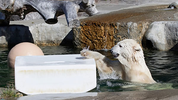 Pike, the San Francisco Zoo's 32-year-old female polar bear, passed away on Friday, May 29, 2015 of complications resulting from multiple geriatric medical conditions.