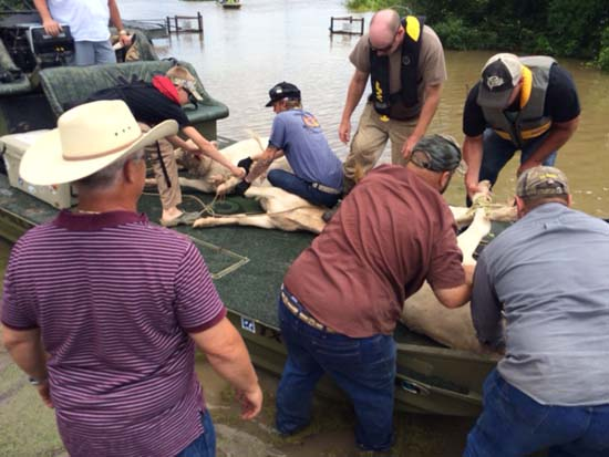 """<div class=""""meta image-caption""""><div class=""""origin-logo origin-image ktrk""""><span>KTRK</span></div><span class=""""caption-text"""">A cow is rescued from floodwaters and is brought aboard a boat. (KTRK)</span></div>"""