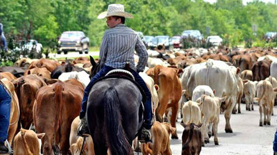 """<div class=""""meta image-caption""""><div class=""""origin-logo origin-image none""""><span>none</span></div><span class=""""caption-text"""">These are viewer photos of the cattle drive Sunday in Liberty County.    If you have pictures, send them to us at news@abc13.com or post them using #abc13eyewitness (Photo/iWitness Reports)</span></div>"""