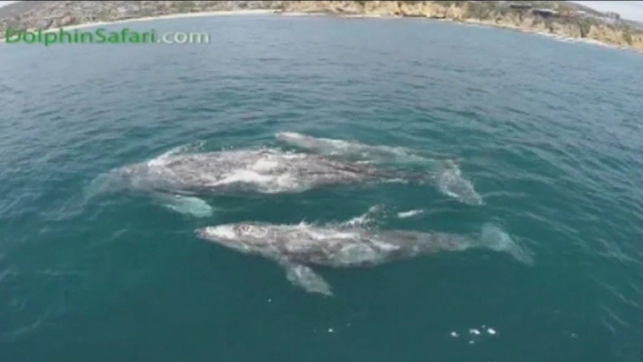 The twin baby gray whales and their mom were spotted by people on a whale-watching boat off Dana Point.