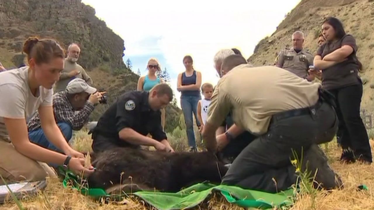 Cinder the bear is now back in the wild on Wednesday, June 3, 2015 after being badly injured in a wildfire in Washington state nine months ago.