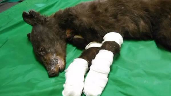 Cinder was badly injured in a wildfire in Washington state last August and has spent the last six months in a bear rehab center in Idaho.
